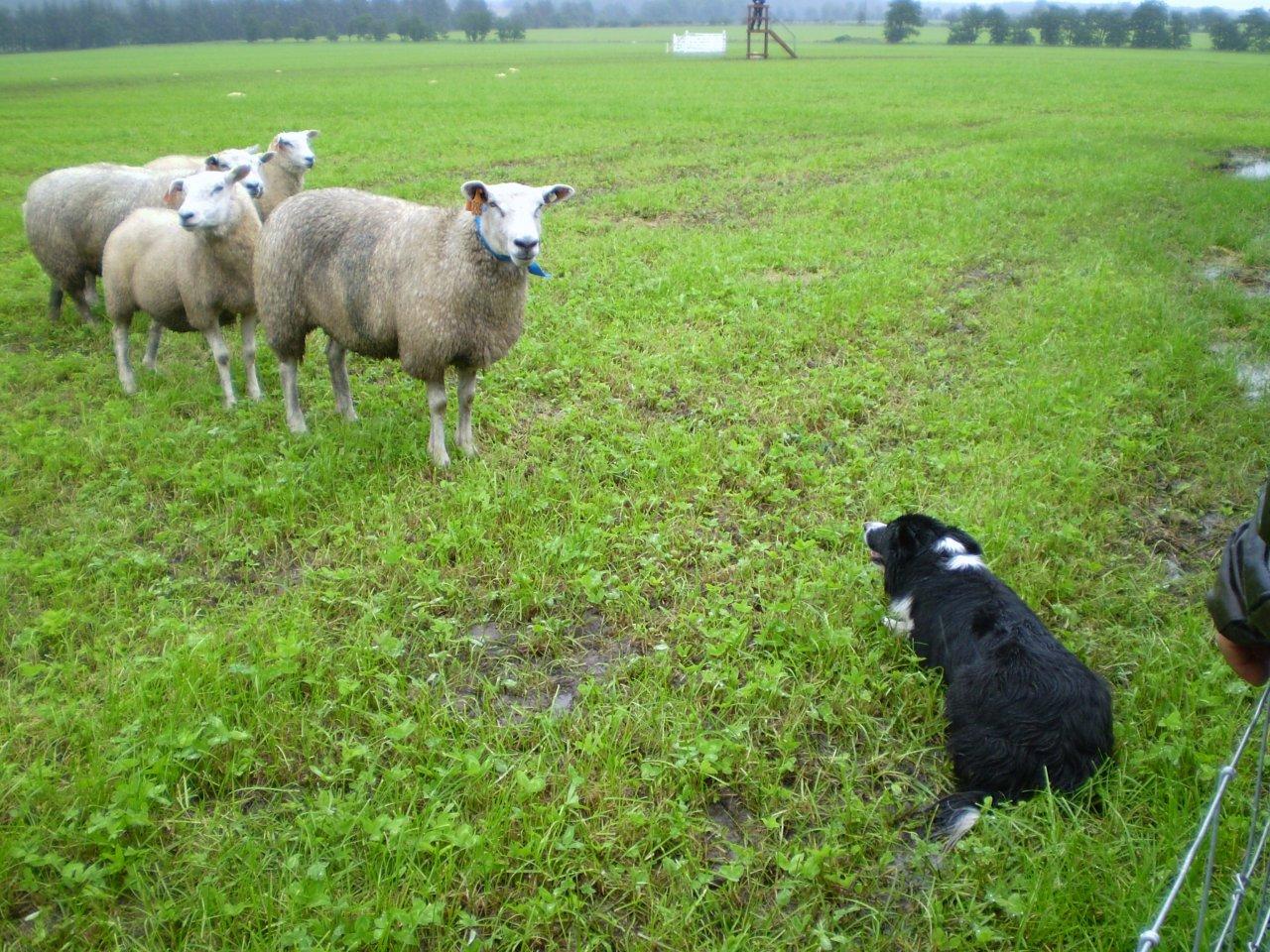 Holanský Jim a zvědavá ovce