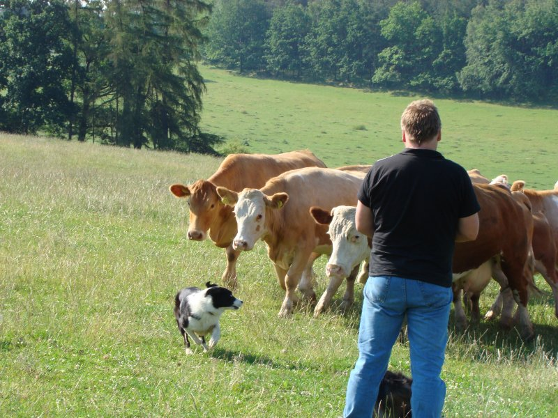 ..jééé krávy ...