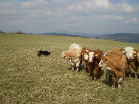 prvně u krav