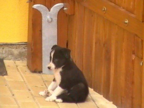 Skip coby štěně